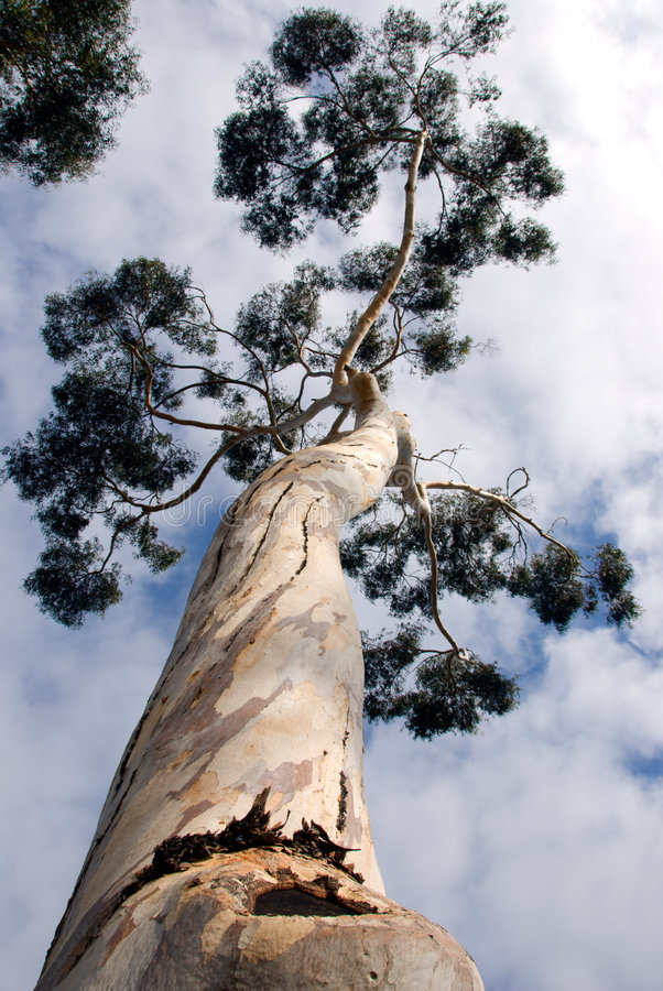De Boom van de eucalyptus royalty-vrije stock foto's