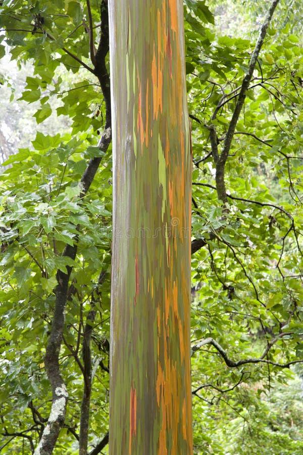 De boom van de Eucalyptus van de regenboog. royalty-vrije stock afbeeldingen