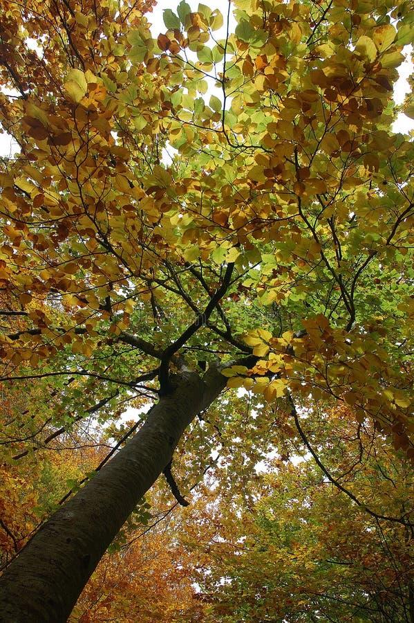 De boom van de herfst stock afbeelding