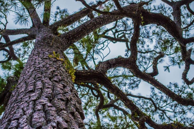 de boom van de 200 jaarpijnboom royalty-vrije stock fotografie