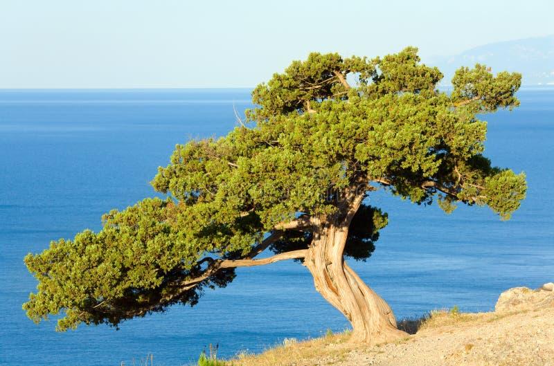 De boom van de jeneverbes stock foto's
