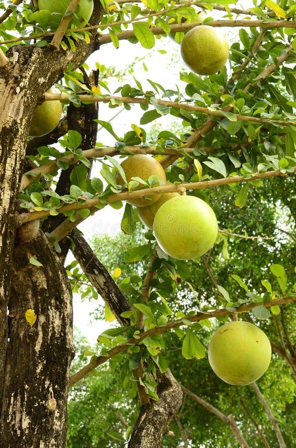 De boom van de kalebasboom. royalty-vrije stock fotografie