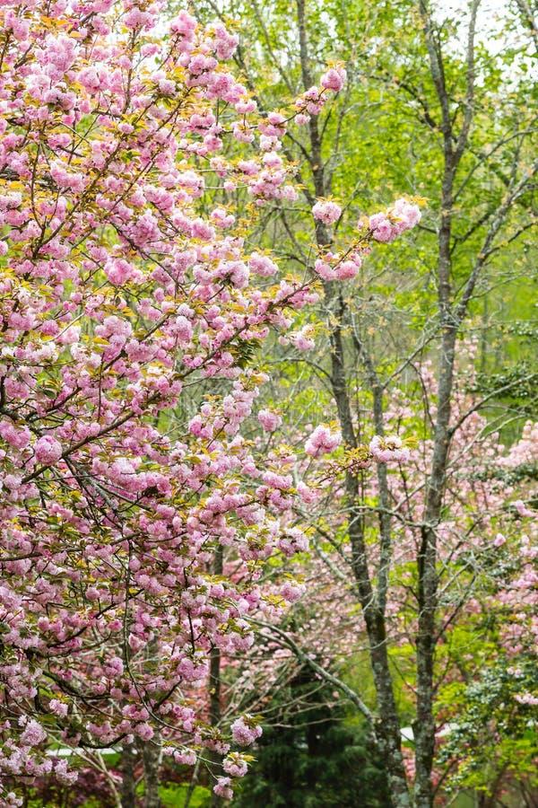 De boom van de kers in de lente royalty-vrije stock foto's
