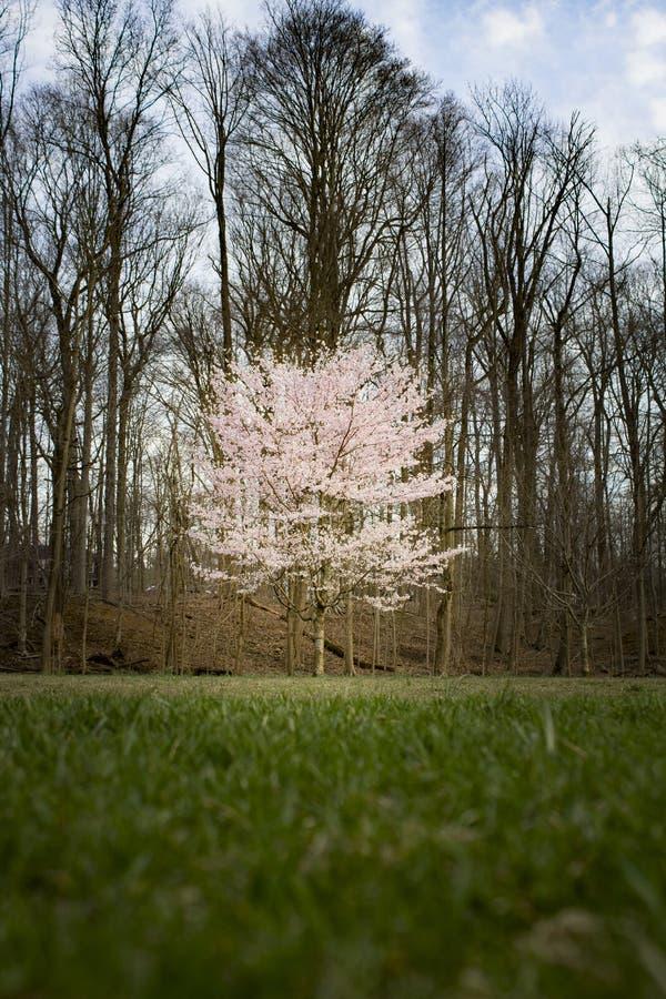 De boom van de kers in de lente royalty-vrije stock fotografie