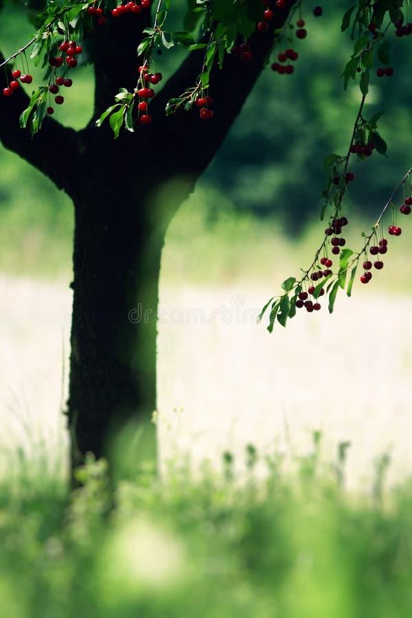 De boom van de kers in de zomer royalty-vrije stock foto's