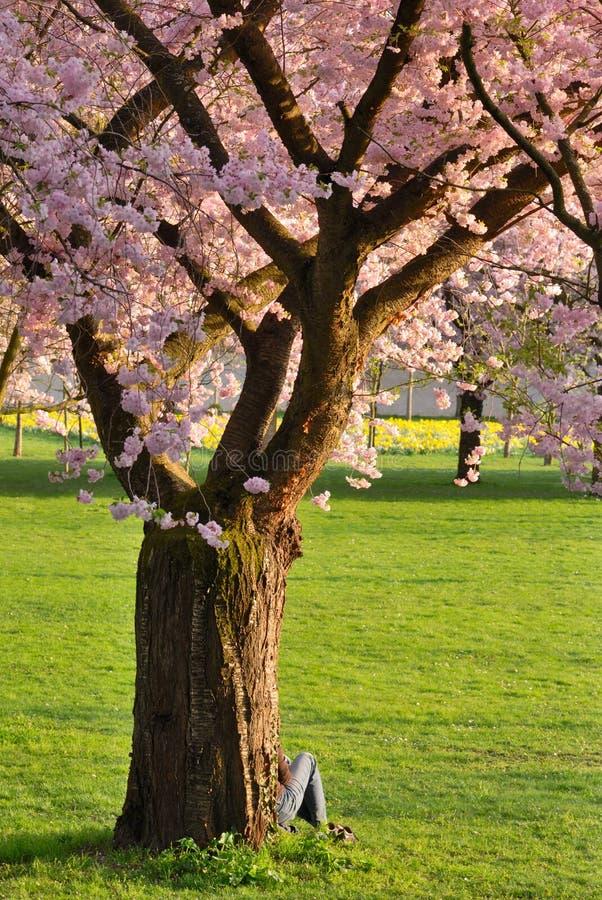 De boom van de kers in een park royalty-vrije stock fotografie