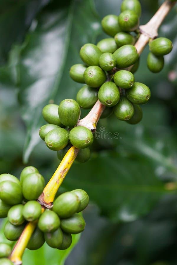 De boom van de koffie met rijpe bessen op landbouwbedrijf royalty-vrije stock afbeeldingen