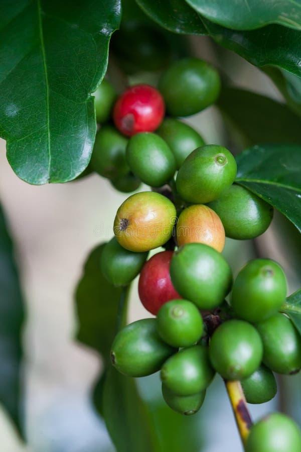 De boom van de koffie met rijpe bessen op landbouwbedrijf stock foto's