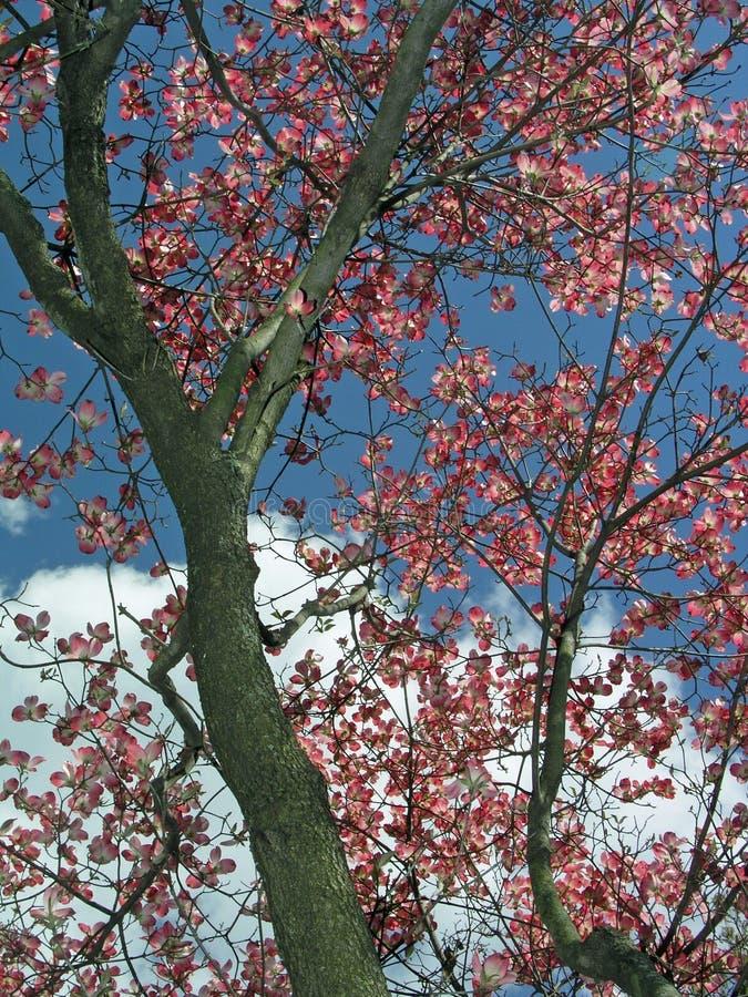 De boom van de kornoelje stock afbeelding