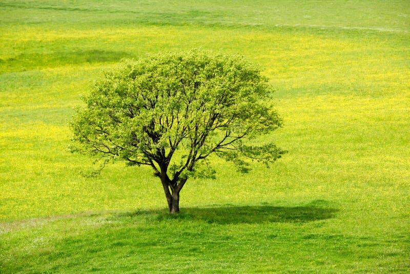 De boom van de lente in een gele bloesemweide stock foto's