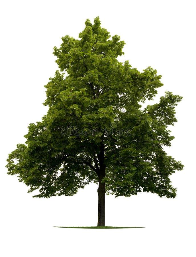 De boom van de linde