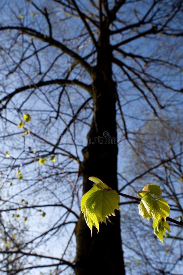 De boom van de linde in de lente stock afbeelding