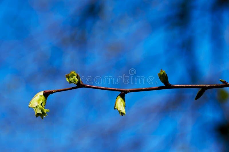 De boom van de linde in de lente stock foto's