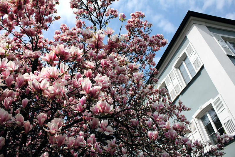 De boom van de magnolia in een park in Lindau, het Meer van Konstanz royalty-vrije stock fotografie