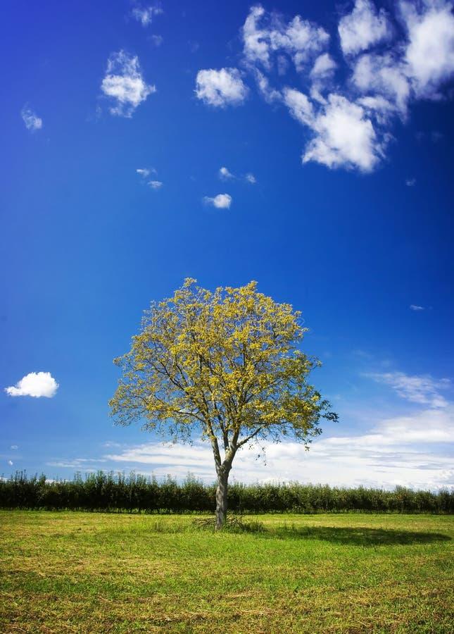 De boom van de okkernoot stock afbeelding
