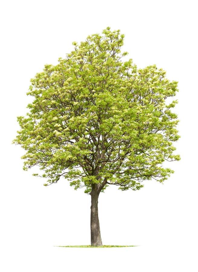 De boom van de okkernoot in de lente royalty-vrije stock foto