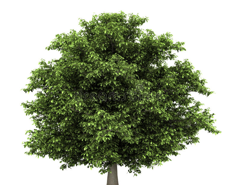 De boom van de paardekastanje die op wit wordt geïsoleerdK royalty-vrije illustratie