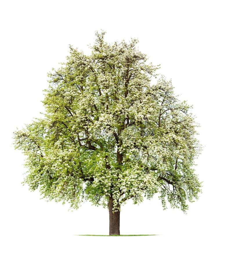 De boom van de peer in bloei stock foto's