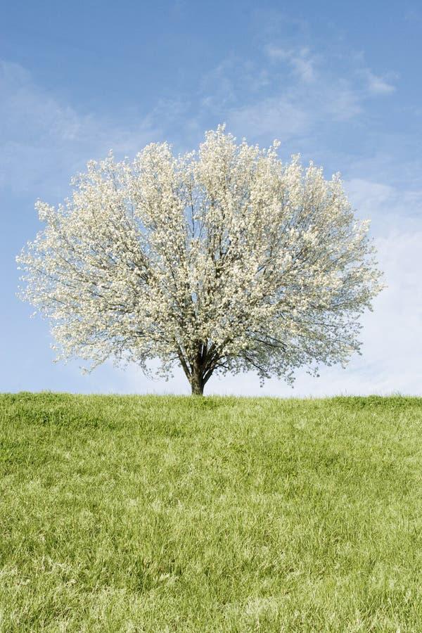 De boom van de Peer van Bradford in volledige bloei royalty-vrije stock foto's