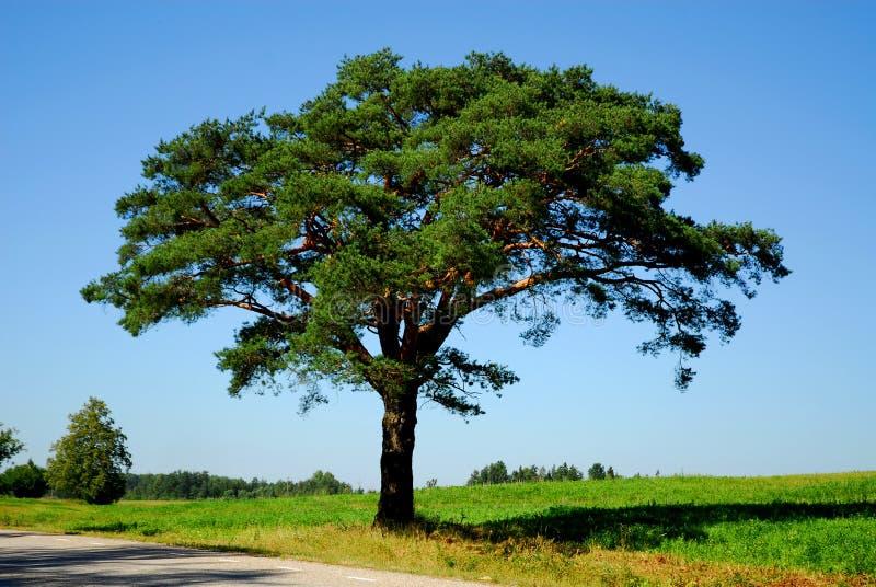 De boom van de pijnboom door de weg stock afbeelding