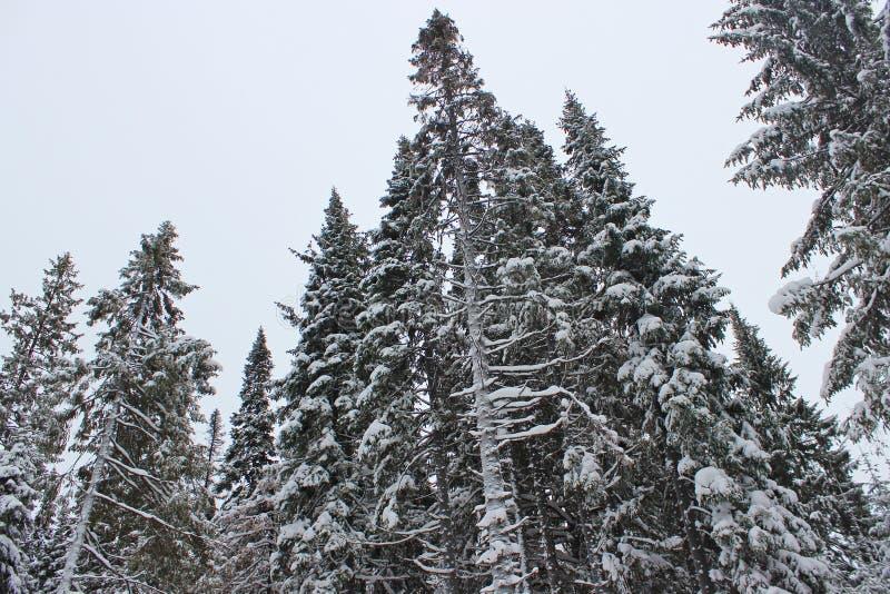 De boom van de pijnboom in sneeuw stock foto