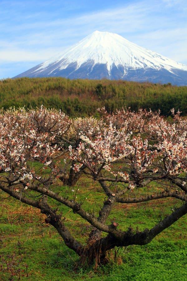 De Boom van de pruim met Fuji stock fotografie