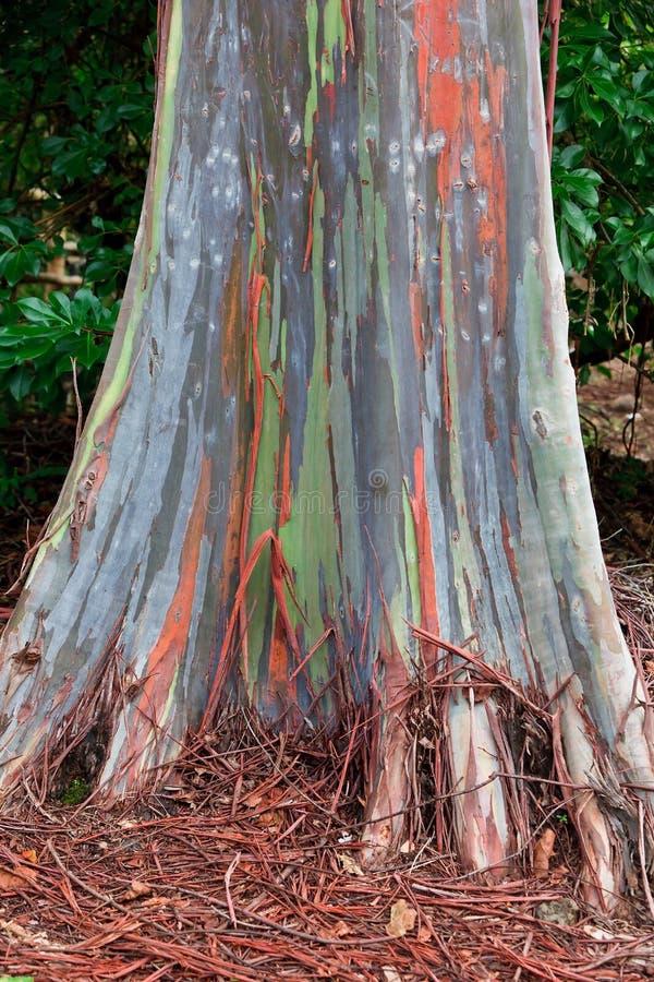 De Boom van de Regenboog van de Eucalyptus van Hawaï stock afbeeldingen