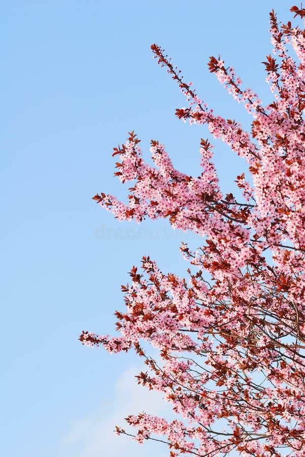 De boom van de Sakurakers met bloesems en blauwe hemel royalty-vrije stock foto
