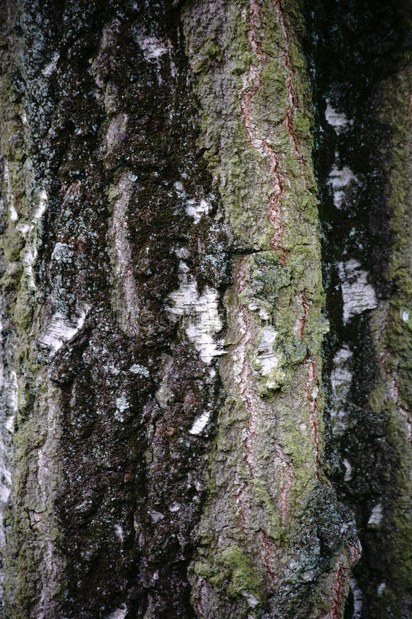 De boom van de schorsberk royalty-vrije stock fotografie
