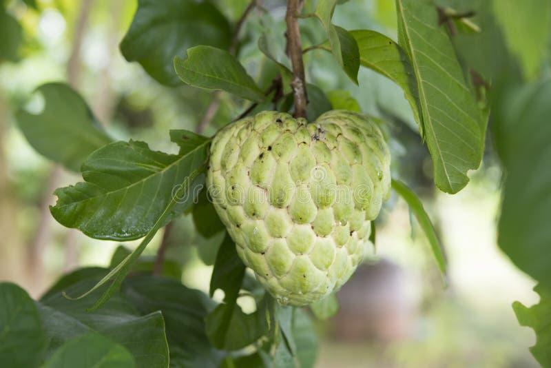 De boom van de vlaappel in de tuin royalty-vrije stock afbeelding