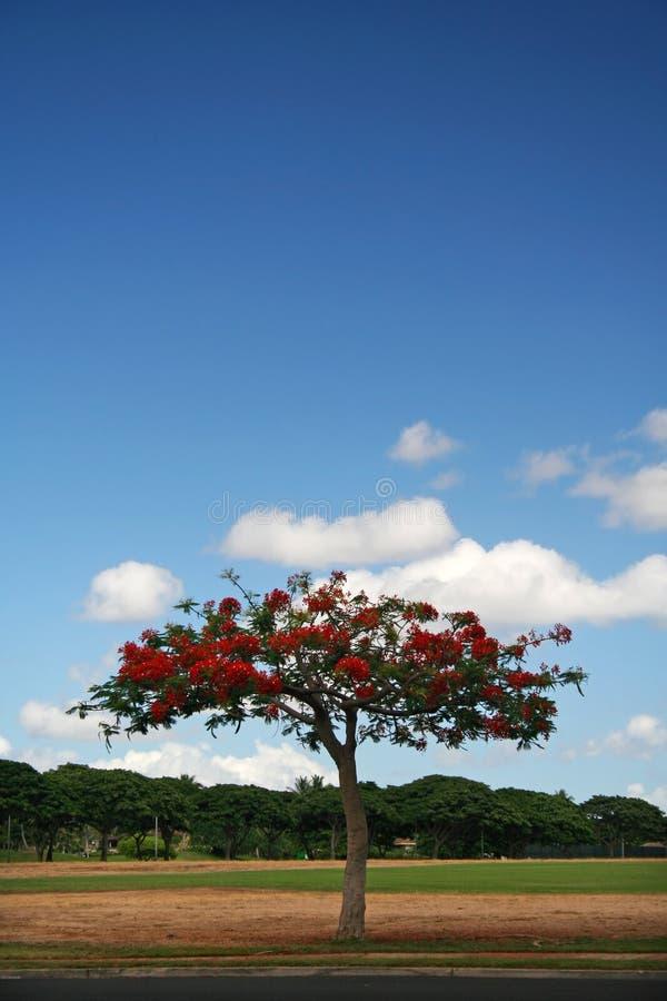 De boom van de vlam in Hawaï royalty-vrije stock afbeeldingen