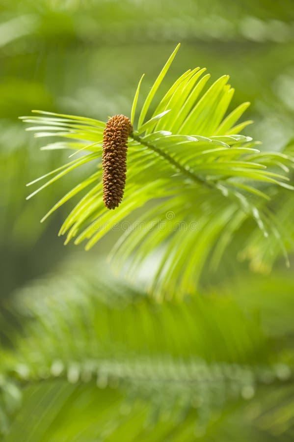 De boom van de Wollemipijnboom stock foto's