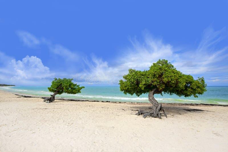 De boom van Divi stock afbeelding