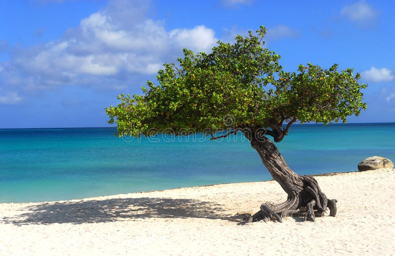 De boom van Divi van Divi op het Strand van de Adelaar in Aruba royalty-vrije stock foto