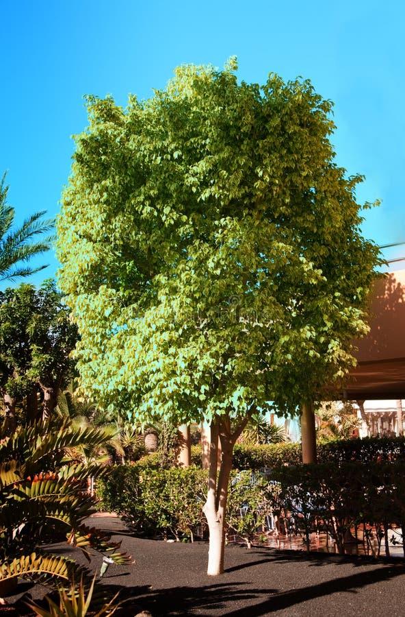De Boom Van Ficussen In Een Tuin Royalty-vrije Stock Foto