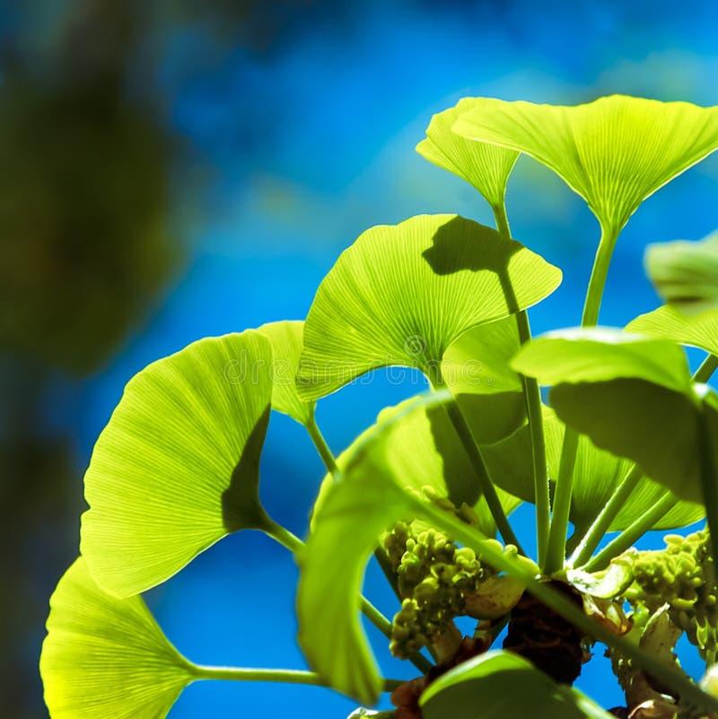 De boom van Ginkgobiloba royalty-vrije stock foto's