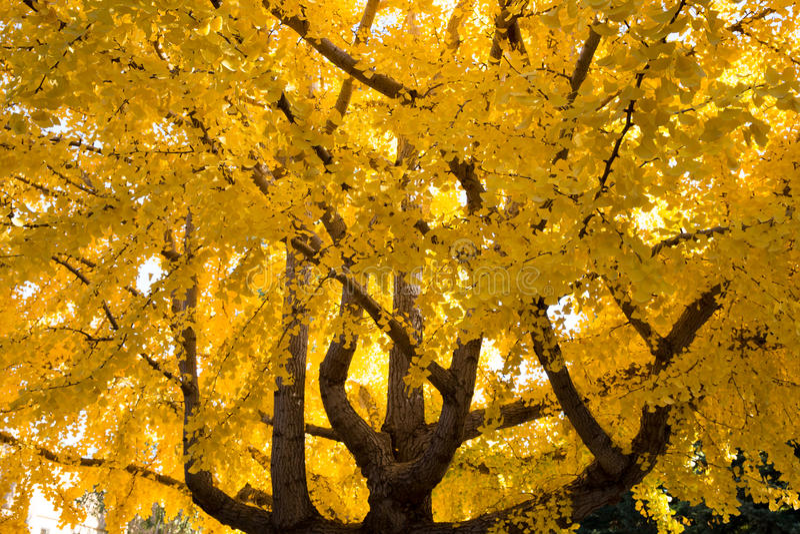 De boom van Ginkgobiloba, Daling stock afbeeldingen