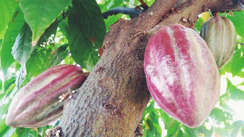 De Boom van het cacaofruit stock afbeelding