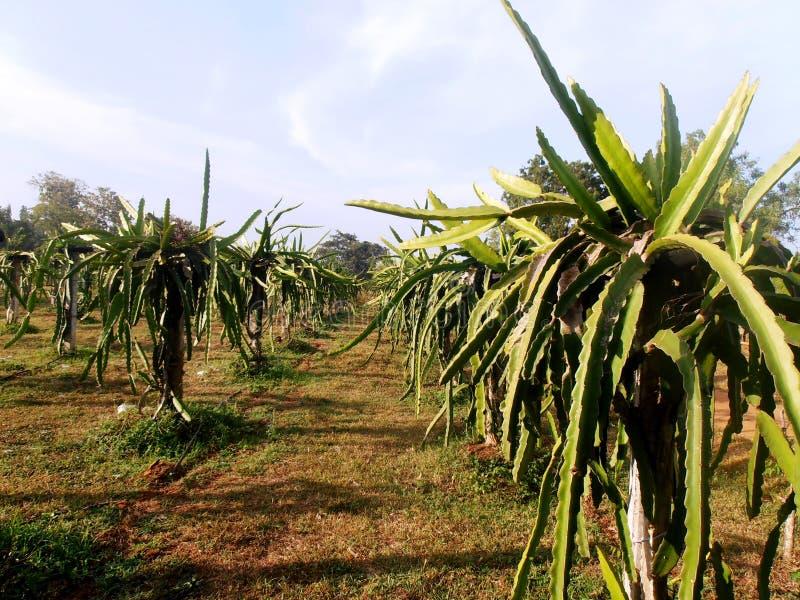 De boom van het draakfruit bij fruitlandbouwbedrijf Sri Lanka royalty-vrije stock afbeelding