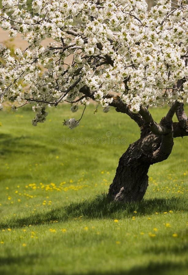 De boom van het fruit in bloei royalty-vrije stock afbeelding