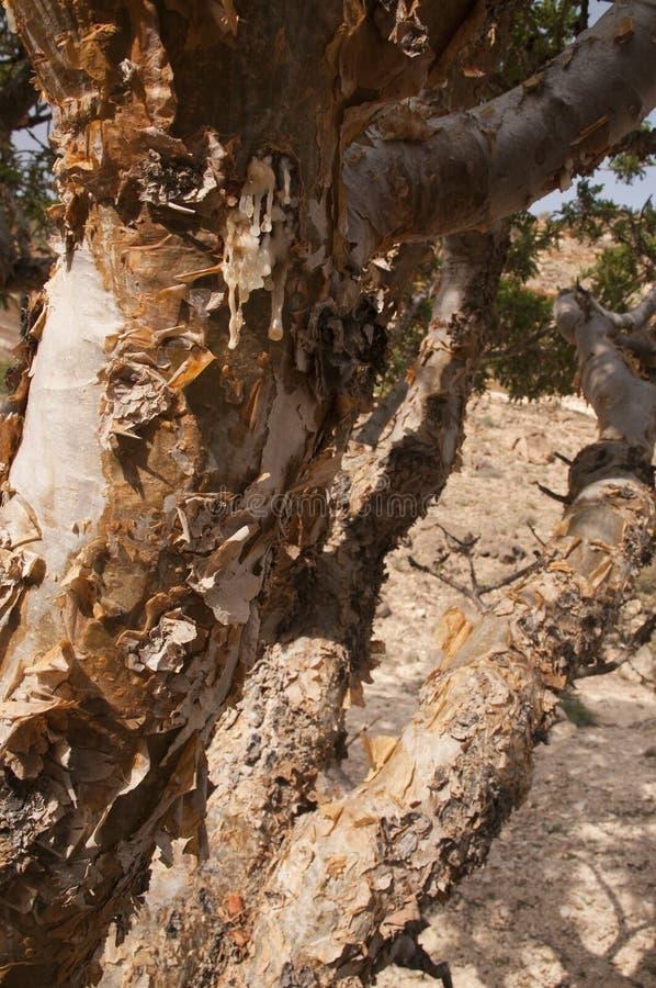 De boom van het wierookhars stock fotografie