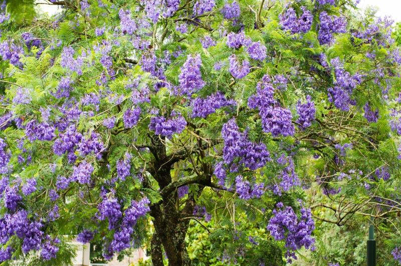 Download De boom van Jacaranda stock afbeelding. Afbeelding bestaande uit bloem - 54092701