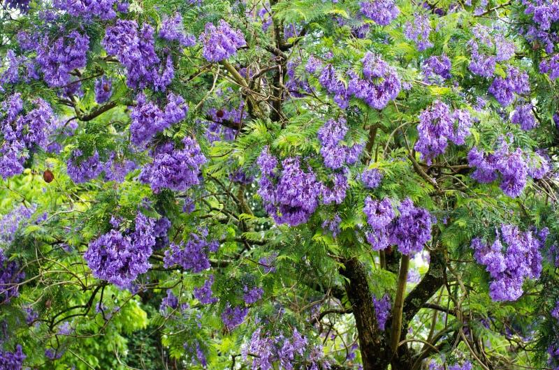 Download De boom van Jacaranda stock afbeelding. Afbeelding bestaande uit blauw - 54092785