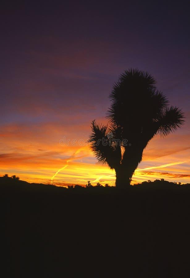 De boom van Joshua bij zonsopgang royalty-vrije stock fotografie