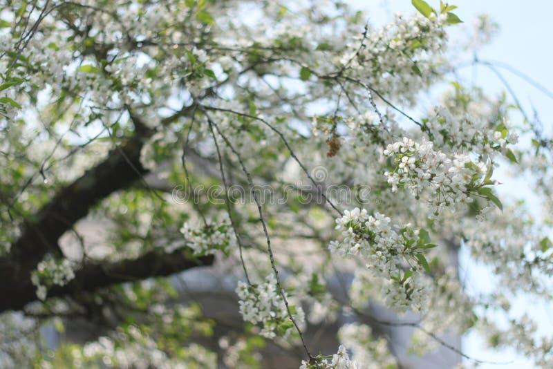 De boom van de kers in bloesem stock foto