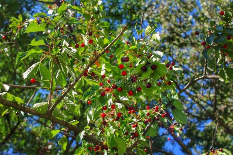 De boom van de kers in de lente royalty-vrije stock afbeelding