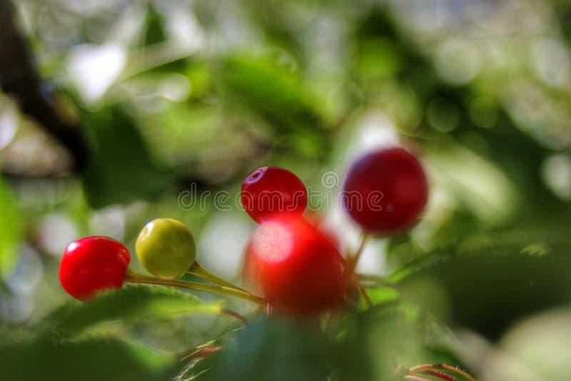 De boom van de kers in de lente stock foto