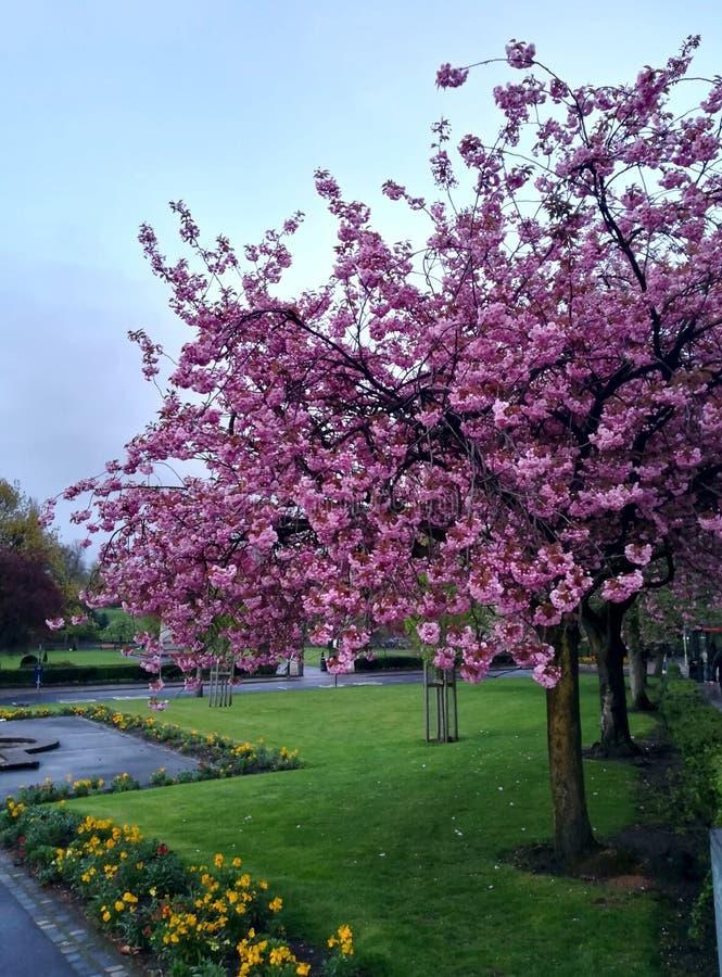 De boom van de kersenbloesem met roze bloem royalty-vrije stock afbeelding