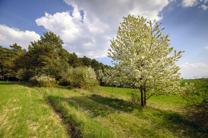 De boom van de de lenteappel in bloosom op groene weide onder de blauwe hemel royalty-vrije stock afbeelding