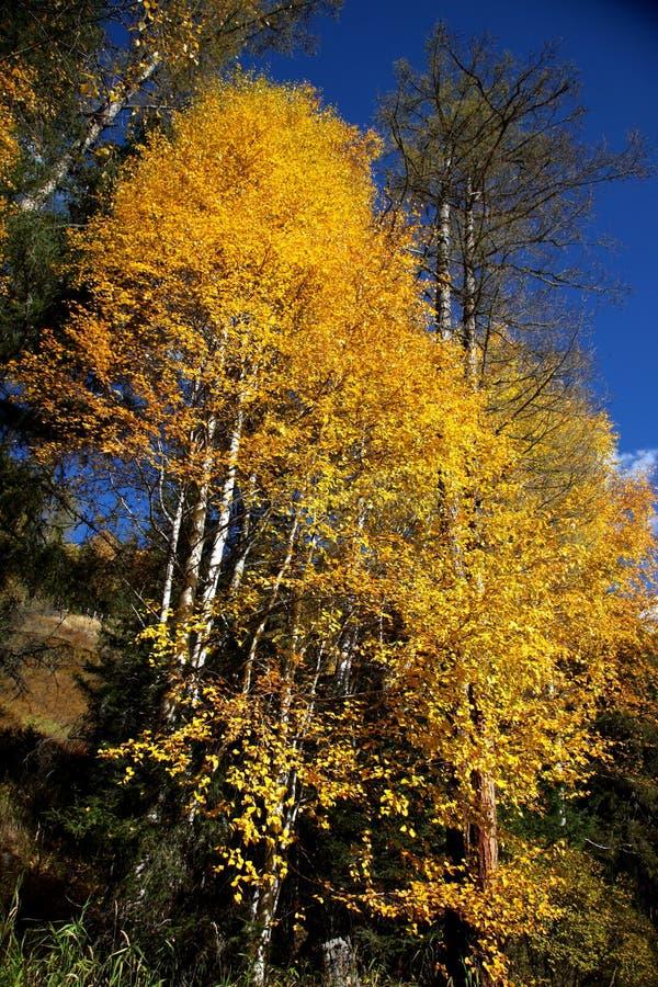 De boom van Maidenhair stock afbeeldingen